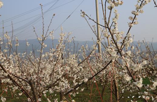 春天的脚步近了,思南樱桃花开了