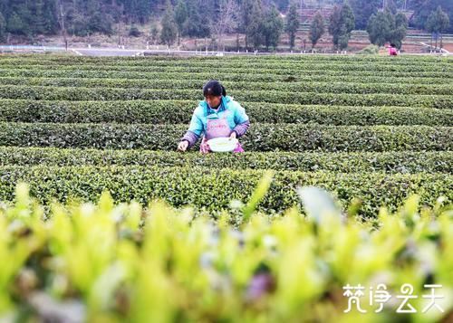 印江:21万亩茶园陆续开采